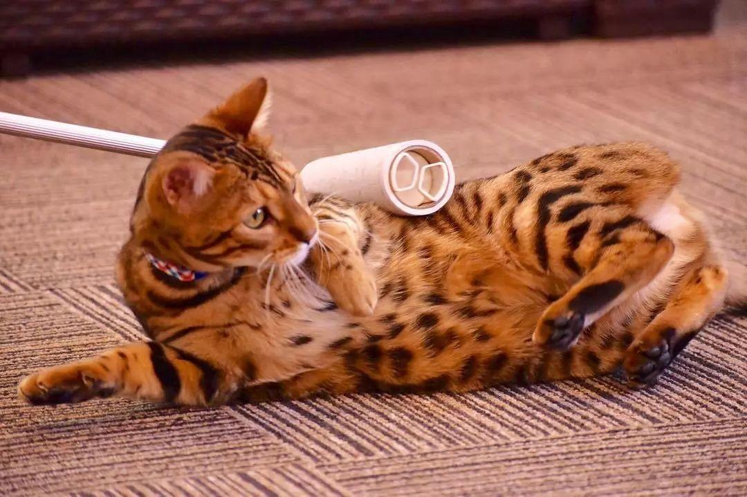 孕期养猫攻略